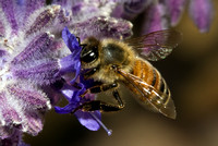 Honey Bee - IMG_0485
