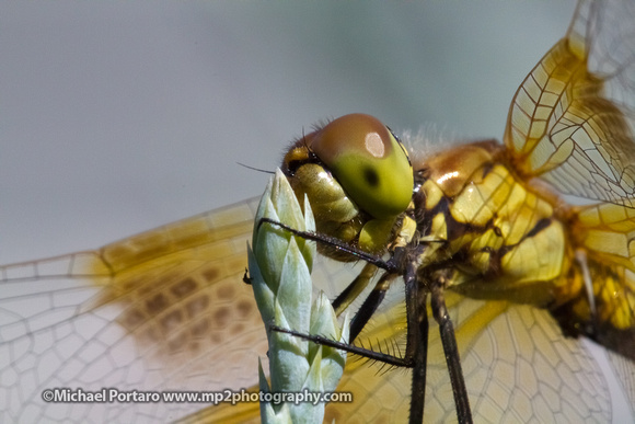 Dragonfly - IMG_8375